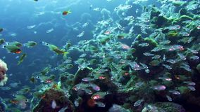 School of Glassfish Parapriacanthus ransonneti inside the wreck of the SS Carnatic, Red sea stock video footage