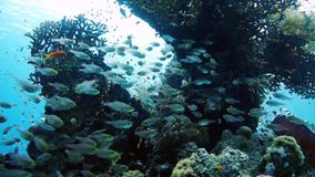 School of Glassfish Parapriacanthus ransonneti inside the wreck of the SS Carnatic, Red sea stock footage