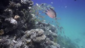 School of Goat fish Mulloidichthys flavolineatus in Red sea stock footage