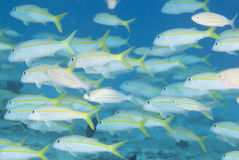School of Goatfish Stock Image