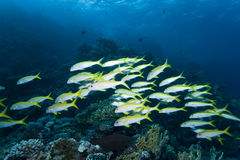 School of Goatfish Royalty Free Stock Photos