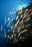 School of Goldband fusiliers cruising the reef. Royalty Free Stock Image