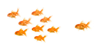 School of Goldfish Royalty Free Stock Photos