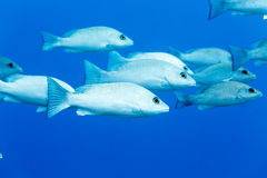 School of Gray Snapper lutjanus griseus swimming in blue water Royalty Free Stock Photos