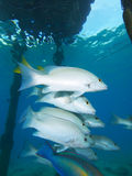 School of gray snapper under jetty in Bonaire in the Dutch Antilles Royalty Free Stock Images