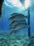 School of gray snapper under jetty in Bonaire in the Dutch Antilles Royalty Free Stock Image
