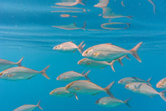 School of greater amberjack Seriola dumerili Stock Images