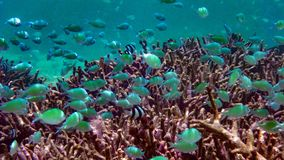 School of green chromis in the Indian ocean, Maldives. stock photo