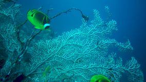 School Of Fish Swimming Underwater In The Sea. School Of Green Color Fish Swimming Underwater In The Tropical Sea stock footage