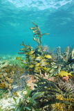 School of grunt fish on a colorful seafloor Stock Images