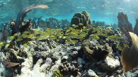School of Grunts on Caribbean Coral Reef stock footage