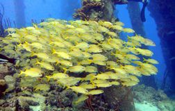 School of grunts fish. A school of french grunts stock images