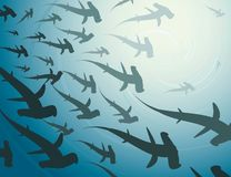 School of hammerhead sharks Stock Photography