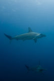School of hammerhead sharks Royalty Free Stock Photography