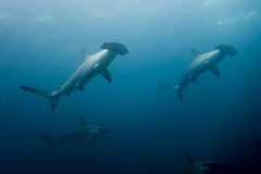 School of hammerhead sharks Royalty Free Stock Image
