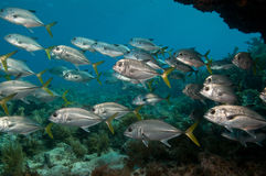 School of horse-eye jacks on Permit Ledge, Key Largo, Florida Keys Stock Images