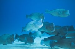 School of humphead fish Stock Photos
