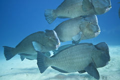 School of humphead fish Stock Photos