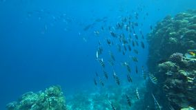 School of Indo-Pacific sergeant swims over coral reef, Red sea, Egypt stock video footage
