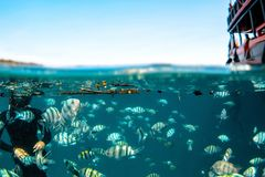 School of Indo-Pacific Sergeant at Koh Chang Royalty Free Stock Photography