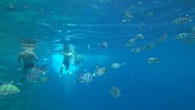 School of Indo-Pacific sergeant swims over coral reef, Red sea, Egypt stock footage