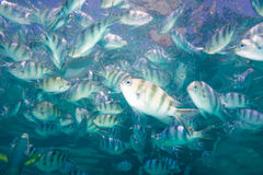 School of Indo-Pacific sergeants in deep sea Royalty Free Stock Photography