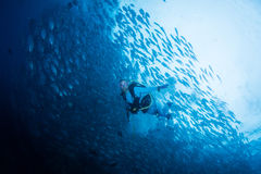 School of jack fish. Diving with school of jack fish Royalty Free Stock Image
