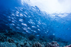 School of jack fish. Diving with school of jack fish Royalty Free Stock Photo