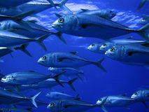 School of Jack fish Stock Photography