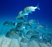 School of Jack fish Royalty Free Stock Photography