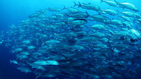 School of Jack fish stock footage