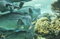 A school of jack fishes. Inside A school of jack fishes looking at you Royalty Free Stock Image