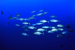 School of Jackfish. Schol of Trevally Fish in the Red Sea Royalty Free Stock Photos