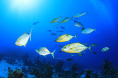 School of Jackfish. School of Trevally Fish in the Red Sea Royalty Free Stock Image
