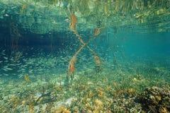 School of juvenile fish near mangrove roots. School of juvenile fish in shallow water near mangrove roots, Caribbean sea, Panama Royalty Free Stock Images