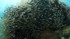 School of Juvenile Sweepers in Raja Ampat. A thick school of sweepers hovers on a healthy coral reef in Raja Ampat, Indonesia. This remote, tropical region is stock video
