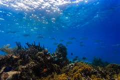 School of large fish swim above coral reef in Caribbean Stock Images