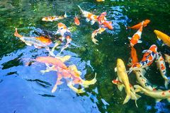 School of large gold fish swimming in the pond at a resort in Singapore. A school of large gold fish swimming in the pond at a resort in Singapore stock image