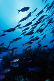 School of large white tropical fish swim above coral on reef Stock Image