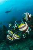 A school of longfin banner fish Stock Photography