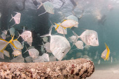 A school of Lookdown fish under a pier Royalty Free Stock Photography