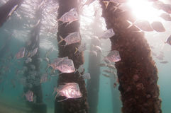 A school of Lookdown fish under a pier Royalty Free Stock Image