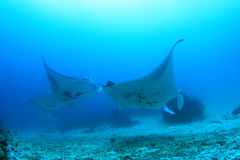 School of manta rays Stock Photos