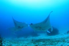 School of manta rays