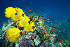 School of Masked Butterfly Fish. Underwater image of coral reef and Masked Butterfly Fish royalty free stock image