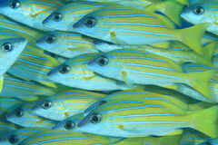 School of mimic goatfish Royalty Free Stock Photo