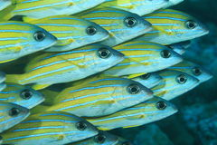 School of mimic goatfish Royalty Free Stock Images