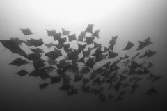 School of Mobula Rays. A school of Mobula Rays swim overhead in Playas del Coco, Guanacaste, Costa Rica royalty free stock photos