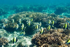School of Moorish idols. Passing over a coral reef in the Mexican ocean Royalty Free Stock Images