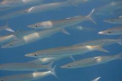 School of Obtuse barracuda (Sphyraena obtusata) in Andaman sea Royalty Free Stock Image